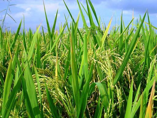 Productores de maíz y arroz de Tolima podrán vender sus cosechas mediante rueda de negocios.