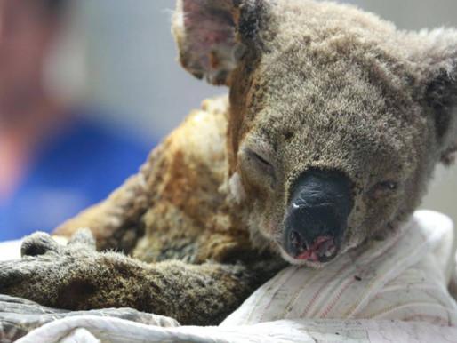 Muere la mitad de los koalas de Australia por incendios