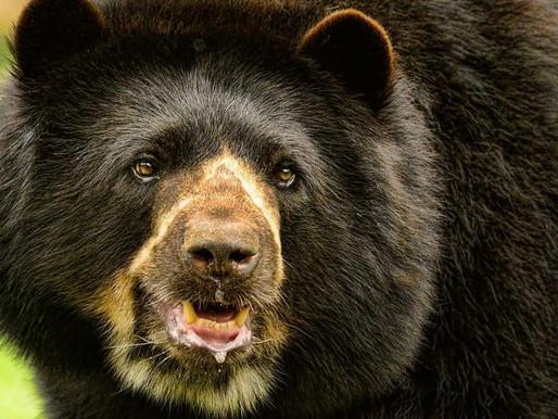 Hallan marcas de oso andino en Tolima