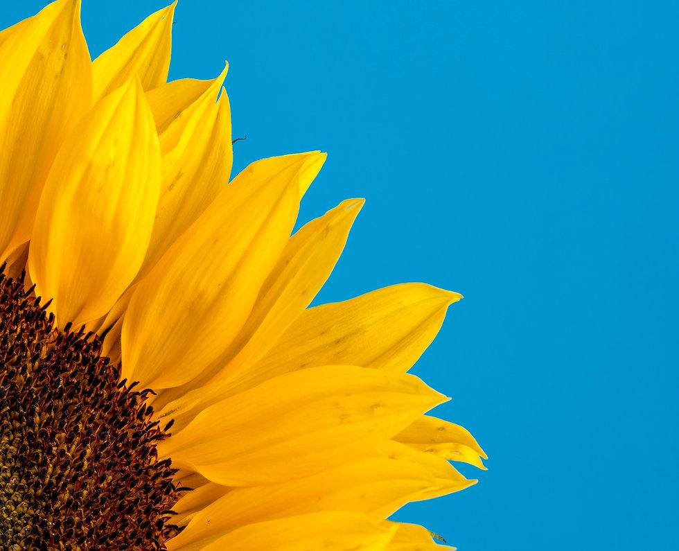 sunflower close up_edited.jpg