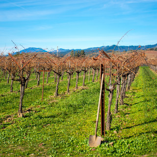 Grape Vines in December