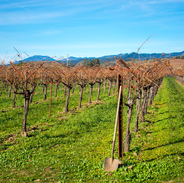 Grape Vines in December