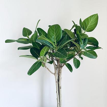 Ficus Benghalensis 'Audrey' Tree