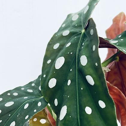 Begonia Maculata 'Spotted Begonia' in Terracotta