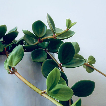 Peperomia Tetraphylla 'Hope'