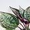 Thumbnail: Monolena Primuliflora 'Midnight Glory'