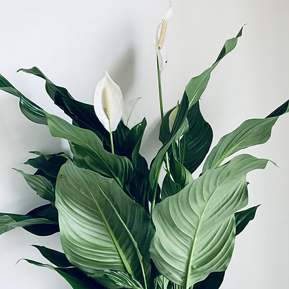 Spathiphyllum Sweet Chico 'Peace Lily' XL