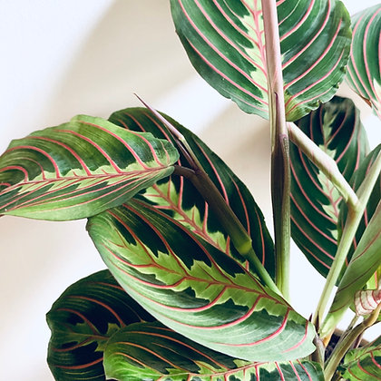 Maranta Fascinator 'Prayer Plant'