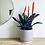 Thumbnail: Bromeliad Vriesea Splendens 'Flaming Sword'