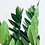 Thumbnail: Zamioculas Zamifolia 'ZZ Plant'