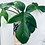 Thumbnail: Philodendron 'Florida Green'