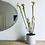 Thumbnail: Sarracenia Rubra 'Sweet Pitcherplant'