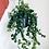 Thumbnail: Aeschynanthus Radicans 'Rasta' Lipstick Plant
