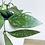 Thumbnail: Hoya Carnosa 'Gracilis'