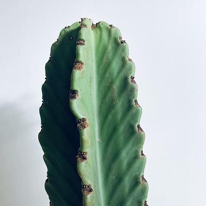Euphorbia Ingens 'Candelabra Tree'