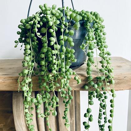 Senecio Rowleyanus 'String of Pearls' Hanger