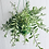Thumbnail: Aeschynanthus Bolero Bicolore 'Lipstick Plant'