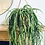 Thumbnail: Rhipsalis Paradoxa 'Chain Cactus' XL