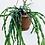 Thumbnail: Rhipsalis Paradoxa 'Chain Cactus'
