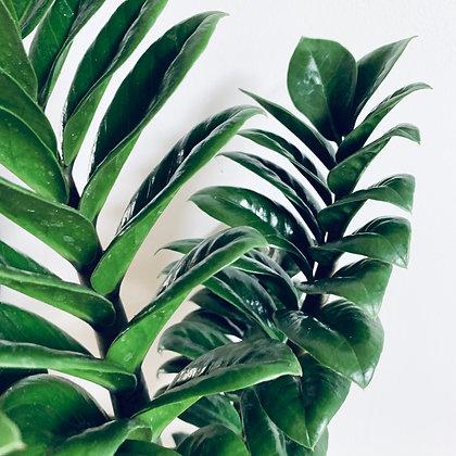 Zamioculcas Zenzi 'ZZ Plant'