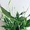 Thumbnail: Spathiphyllum Bellini 'Peace Lily'