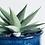 Thumbnail: Haworthia Limifolia 'Spider White'