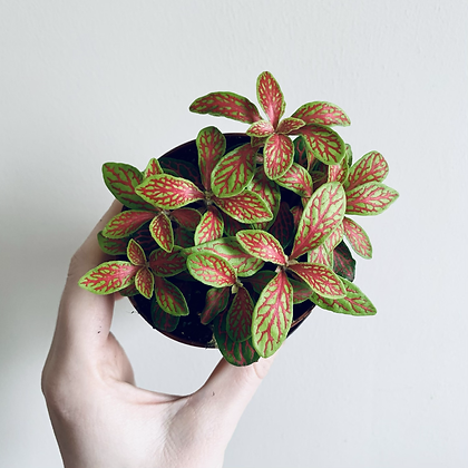 Fittonia Verschaffeltii 'Nerve Plant' Green/Red