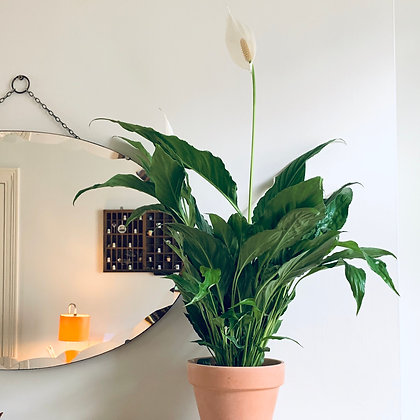 Spathiphyllum Sweet Chico 'Peace Lily'