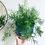 Thumbnail: Asparagus Densiflorus 'Sprengeri'