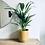 Thumbnail: Chrysalidocarpus 'Areca Palm'