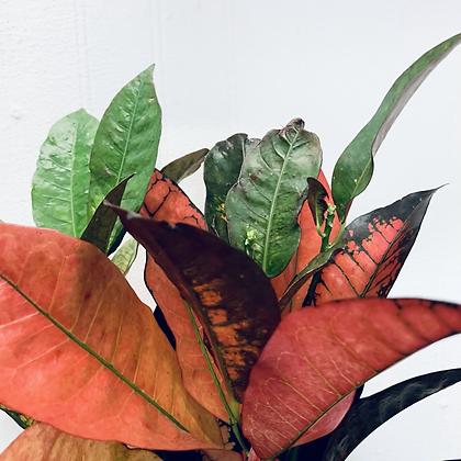 Codiaeum Iceton 'Croton Plant'