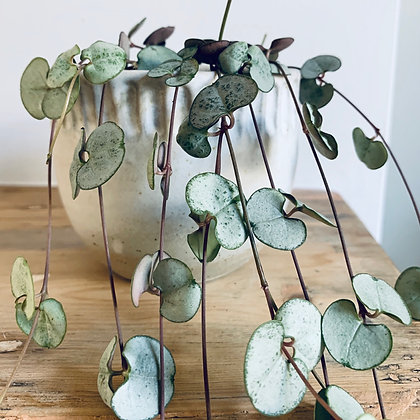 Ceropegia Woodii 'String of Hearts Silver Glory'