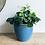 Thumbnail: Oxalis Triangularis 'Shamrock Plant'