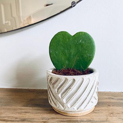 Hoya Kerrii 'Sweetheart Plant'
