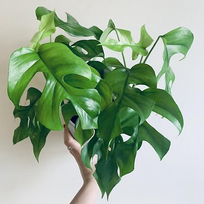 Rhaphidophora Tetrasperma 'Split Leaf Philodendron'