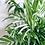 Thumbnail: Chamaedorea Elegans Variegated 'Parlour Palm'