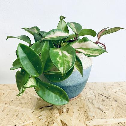 Hoya Carnosa Tricolor 'Wax Vine'