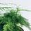 Thumbnail: Asparagus Setaceus Plumosus 'Lace Fern'