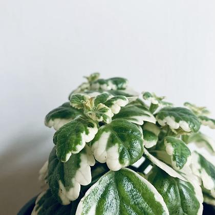 Plectranthus Coleoides 'Swedish Ivy'