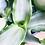 Thumbnail: Murdiannia Loriformis 'Bright Star'