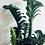 Thumbnail: Zamioculcas Zenzi 'ZZ Plant'