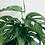 Thumbnail: Monstera Adansonii 'Swiss Cheese Plant'