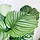 Thumbnail: Calathea Orbifolia XL