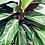 Thumbnail: Stromanthe 'Magic Star'