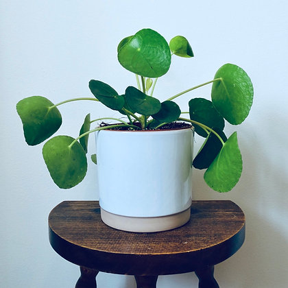 Pilea Peperomioides 'Chinese Money Plant' 11cm