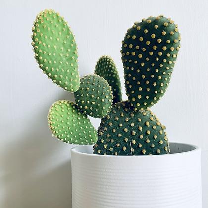 Opuntia Microdasys 'Bunny Ear Cactus'