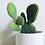 Thumbnail: Opuntia Microdasys 'Bunny Ear Cactus'