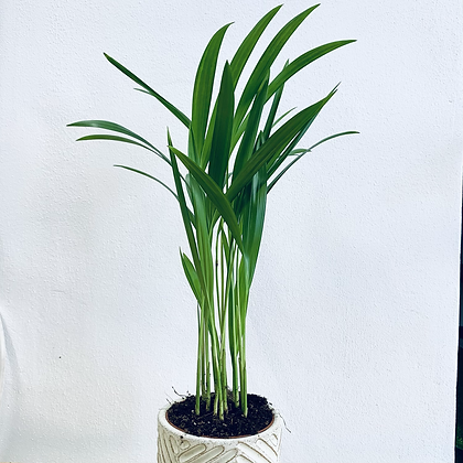 Chrysalidocarpus 'Areca Palm'
