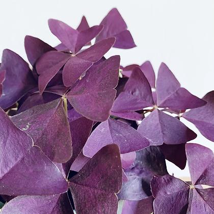 Oxalis Triangularis 'Purple Shamrock'
