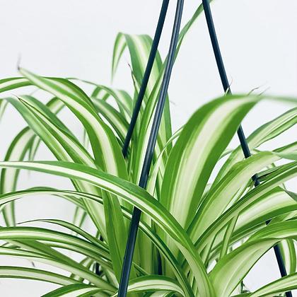 Chlorophytum Comosum Variegata 'Spider Plant'